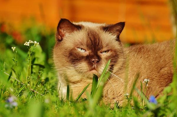 koty rasowe czy rzeczywiście większy wydatek