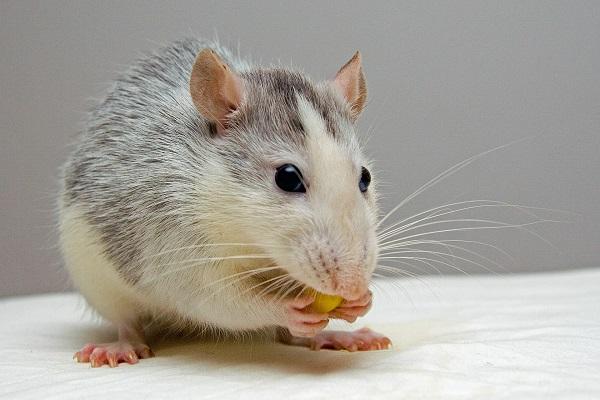 szczur w domu