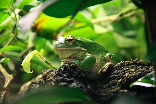 hodowla żab